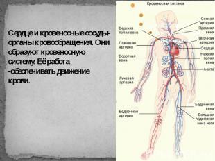 Сердце и кровеносные сосуды-органы кровообращения. Они образуют кровеносную сист