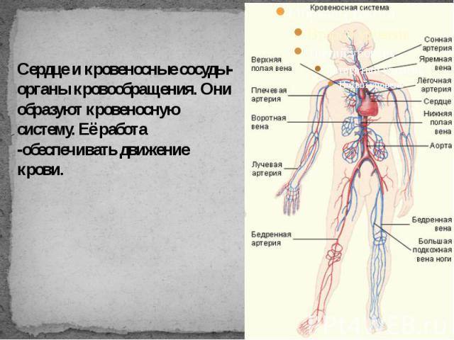 Сердце и кровеносные сосуды-органы кровообращения. Они образуют кровеносную систему. Её работа -обеспечивать движение крови.
