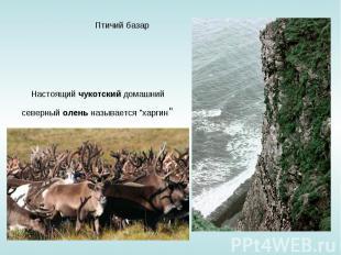 """Птичий базар Настоящий чукотский домашний северный олень называется """"харгин"""