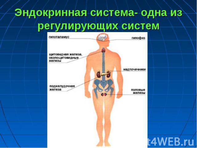 Эндокринная система- одна из регулирующих систем