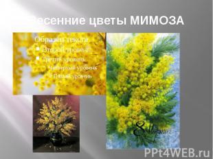 Весенние цветы МИМОЗА