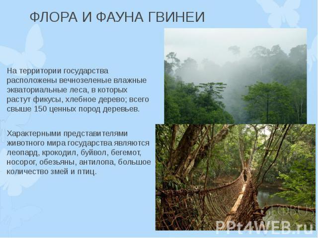 ФЛОРА И ФАУНА ГВИНЕИ На территории государства расположены вечнозеленые влажные экваториальные леса, в которых растут фикусы, хлебное дерево; всего свыше 150 ценных пород деревьев. Характерными представителями животного мира государства являются лео…