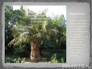 Винная пальма ВИННАЯ ПАЛЬМА - виды пальм главным образом рода рафия, соцветия ко