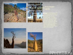 Бутылочное дерево Дерево растёт в Южной Америке и очень любимо местным население