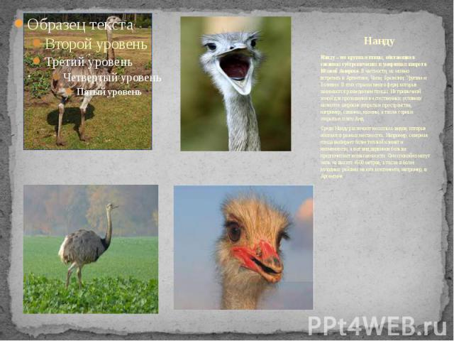 Нанду Нанду – это крупные птицы, обитающие в саваннах субтропических и умеренных широт в Южной Америке.В частности, их можно встретить в Аргентине, Чили, Бразилии, Уругвае и Боливии. В этих странах много ферм, которые занимаются разведением пт…