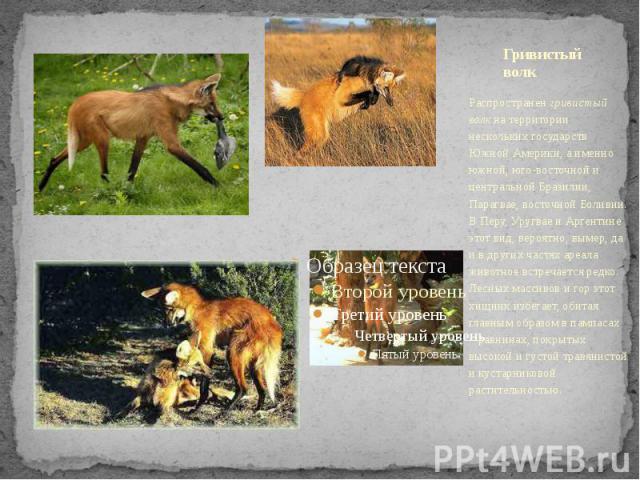 Гривистый волк Распространенгривистый волкна территории нескольких государств Южной Америки, а именно южной, юго-восточной и центральной Бразилии, Парагвае, восточной Боливии. В Перу, Уругвае и Аргентине этот вид, вероятно, вымер, да и в…