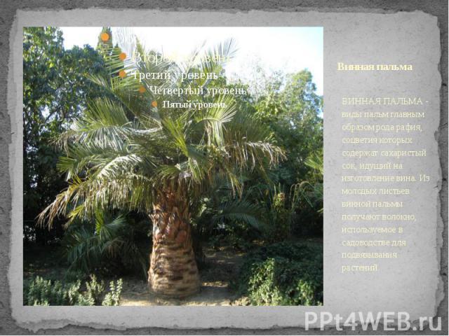 Винная пальма ВИННАЯ ПАЛЬМА - виды пальм главным образом рода рафия, соцветия которых содержат сахаристый сок, идущий на изготовление вина. Из молодых листьев винной пальмы получают волокно, используемое в садоводстве для подвязывания растений.