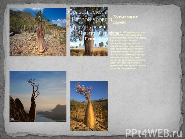 Бутылочное дерево Дерево растёт в Южной Америке и очень любимо местным населением. Когда наступают периоды засухи, листья дерева идут на корм скоту. А вот ствол бутылочного дерева – это источник питьевой воды! Кроме этого в верхней части ствола в сп…