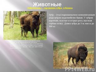 Животные Бизон - парнокопытное млекопитающие животное сем-ва полорогих. Дикий се