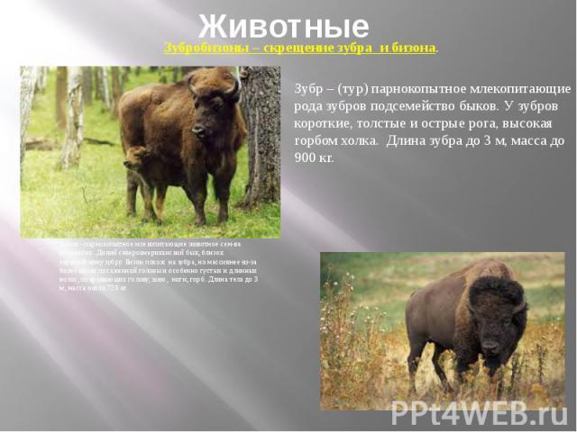 Животные Бизон - парнокопытное млекопитающие животное сем-ва полорогих. Дикий североамериканский бык, близок европейскому зубру. Бизон похож на зубра, но массивнее из-за более низко посаженной головы и особенно густых и длинных волос, покрывающих го…