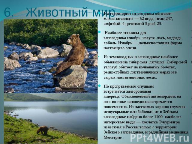 6. Животный мир На территории заповедника обитают млекопитающие— 52 вида, птиц-247, амфибий- 4, рептилий-5,рыб-29. Наиболее типичны для заповедникаизюбрь,косуля,лось, медведь, соболь. Изюбрь— дальневосточная форма насто…