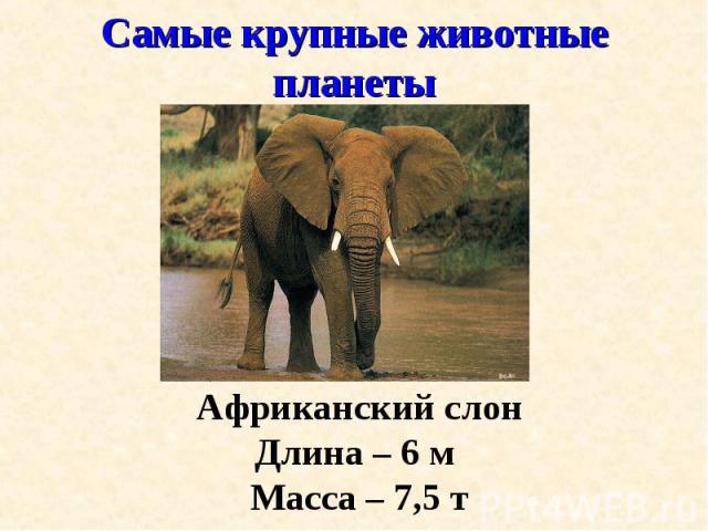 Африканский слон Африканский слон Длина – 6 м Масса – 7,5 т