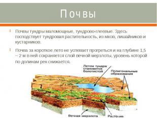 Почвы Почвы тундры маломощные, тундрово-глеевые. Здесь господствует тундровая ра