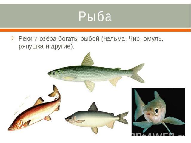 Рыба Реки и озёра богаты рыбой (нельма, Чир, омуль, ряпушка и другие).