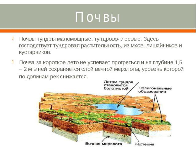 Почвы Почвы тундры маломощные, тундрово-глеевые. Здесь господствует тундровая растительность, из мхов, лишайников и кустарников. Почва за короткое лето не успевает прогреться и на глубине 1,5 – 2 м в ней сохраняется слой вечной мерзлоты, уровень кот…
