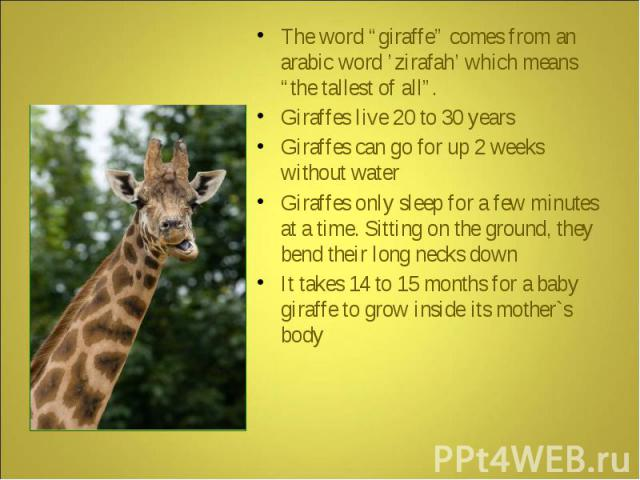"The word ""giraffe"" comes from an arabic word 'zirafah' which means ""the tallest of all"". Giraffes live 20 to 30 years Giraffes can go for up 2 weeks without water Giraffes only sleep for a few minutes at a time. Sitting on the ground, they bend thei…"