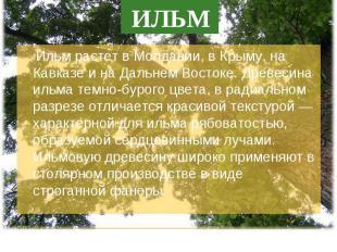Ильм растет в Молдавии, в Крыму, на Кавказе и на Дальнем Востоке. Древесина ильм