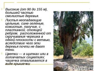 Высокие (от 90 до 155 м), большей частью смолистые деревья. Высокие (от 90 до 15