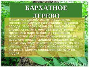 Бархатное дерево растет на Дальнем Востоке по Амуру и на Сахалине. Ядровая пород