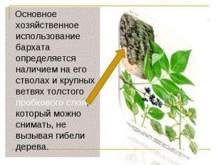 Основное хозяйственное использование бархата определяется наличием на его ствола