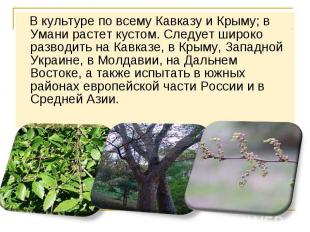 В культуре по всему Кавказу и Крыму; в Умани растет кустом. Следует широко разво