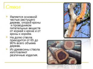 Является основной частью растущего дерева, опорой кроны и проводником питательны