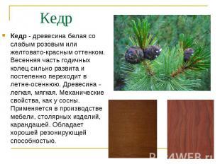 Кедр - древесина белая со слабым розовым или желтовато-красным оттенком. Весення