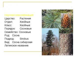 Научная классификация Научная классификация Царство: Растения Отдел: Хвойные Кла