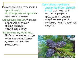 Сибирский кедр отличается густой, часто многовершинной кроной с толстыми сучьями
