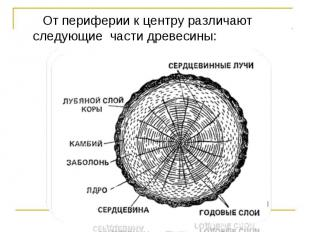 От периферии к центру различают следующие части древесины: От периферии к центру