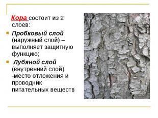 Кора состоит из 2 слоев: Кора состоит из 2 слоев: Пробковый слой (наружный слой)