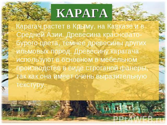 Карагач растет в Крыму, на Кавказе и в Средней Азии. Древесина красновато-бурого цвета, темнее древесины других ильмовых пород. Древесину карагача используют в основном в мебельном производстве в виде строганой фанеры, так как она имеет очень вырази…