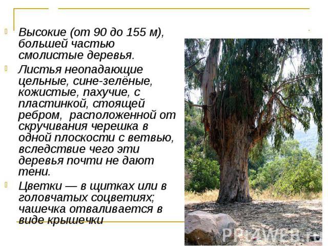 Высокие (от 90 до 155 м), большей частью смолистые деревья. Высокие (от 90 до 155 м), большей частью смолистые деревья. Листья неопадающие цельные, сине-зелёные, кожистые, пахучие, с пластинкой, стоящей ребром, расположенной от скручивания черешка в…