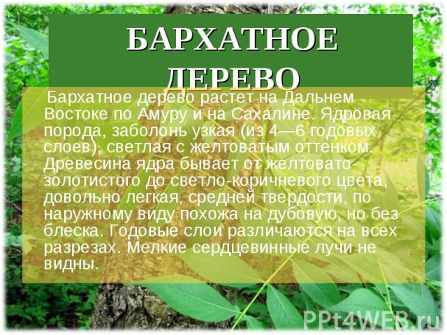 Бархатное дерево растет на Дальнем Востоке по Амуру и на Сахалине. Ядровая порода, заболонь узкая (из 4—6 годовых слоев), светлая с желтоватым оттенком. Древесина ядра бывает от желтовато-золотистого до светло-коричневого цвета, довольно легкая, сре…