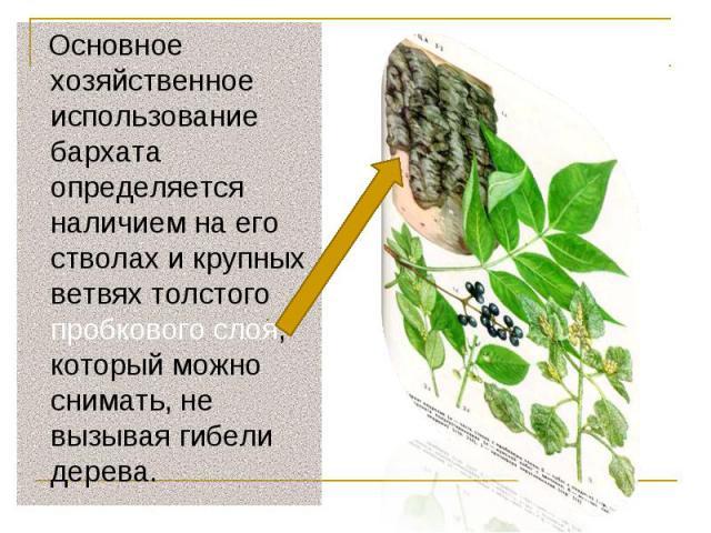 Основное хозяйственное использование бархата определяется наличием на его стволах и крупных ветвях толстого пробкового слоя, который можно снимать, не вызывая гибели дерева. Основное хозяйственное использование бархата определяется наличием на его с…