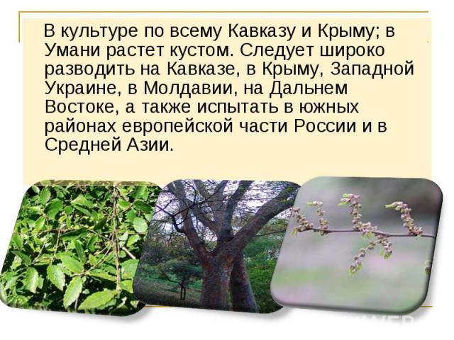 В культуре по всему Кавказу и Крыму; в Умани растет кустом. Следует широко разводить на Кавказе, в Крыму, Западной Украине, в Молдавии, на Дальнем Востоке, а также испытать в южных районах европейской части России и в Средней Азии. В культуре по все…