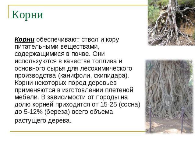 Корни обеспечивают ствол и кору питательными веществами, содержащимися в почве. Они используются в качестве топлива и основного сырья для лесохимического производства (канифоли, скипидара). Корни некоторых пород деревьев применяются в изготовлении п…