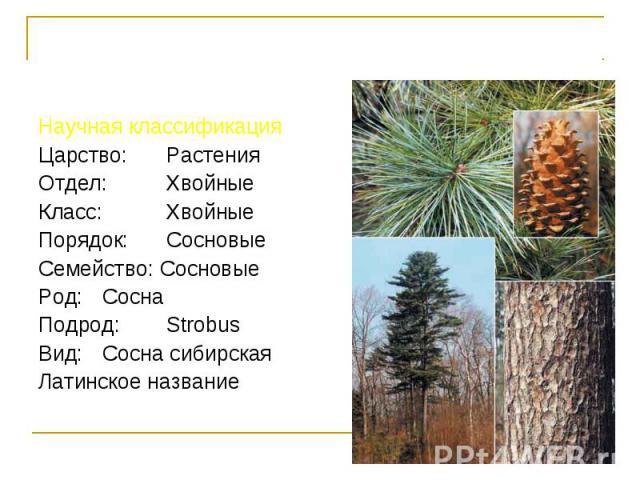 Научная классификация Научная классификация Царство: Растения Отдел: Хвойные Класс: Хвойные Порядок: Сосновые Семейство: Сосновые Род: Сосна Подрод: Strobus Вид: Сосна сибирская Латинское название Pinus sibirica Du Tour