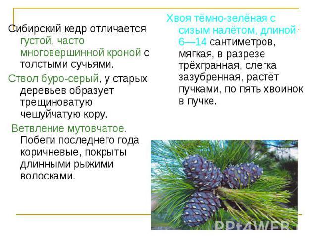 Сибирский кедр отличается густой, часто многовершинной кроной с толстыми сучьями. Сибирский кедр отличается густой, часто многовершинной кроной с толстыми сучьями. Ствол буро-серый, у старых деревьев образует трещиноватую чешуйчатую кору. Ветвление …