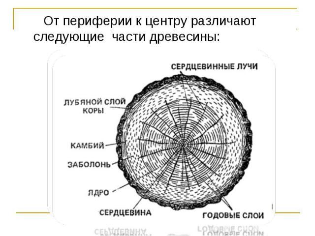 От периферии к центру различают следующие части древесины: От периферии к центру различают следующие части древесины: