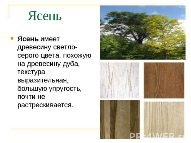 Ясень имеет древесину светло-серого цвета, похожую на древесину дуба, текстура выразительная, большую упругость, почти не растрескивается. Ясень имеет древесину светло-серого цвета, похожую на древесину дуба, текстура выразительная, большую упругост…