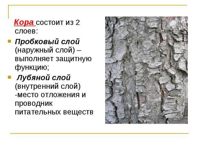 Кора состоит из 2 слоев: Кора состоит из 2 слоев: Пробковый слой (наружный слой) –выполняет защитную функцию; Лубяной слой (внутренний слой) -место отложения и проводник питательных веществ