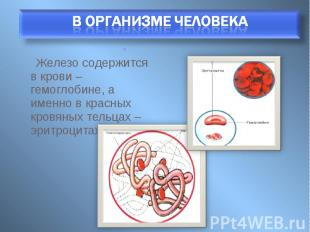 Железо содержится в крови – гемоглобине, а именно в красных кровяных тельцах – э