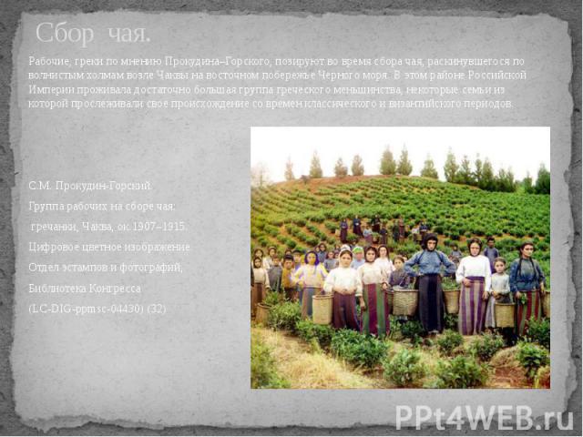 Сбор чая. Рабочие, греки по мнению Прокудина–Горского, позируют во время сбора чая, раскинувшегося по волнистым холмам возле Чаквы на восточном побережье Черного моря. В этом районе Российской Империи проживала достаточно большая группа греческого м…