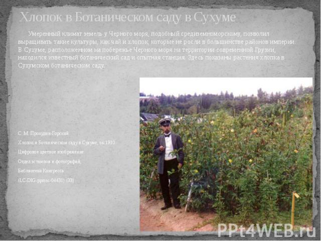 Хлопок в Ботаническом саду в Сухуме Умеренный климат земель у Черного моря, подобный средиземноморскому, позволил выращивать такие культуры, как чай и хлопок, которые не росли в большинстве районов империи. В Сухуме, расположенном на побережье Черно…