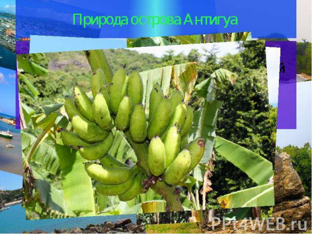 Природа острова Антигуа На острове можно наблюдать великолепные пейзажи неповторимой природы Антигуа, найти много всего интересного, например, такое травянистое растение, как банан.