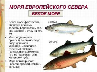 МОРЯ ЕВРОПЕЙСКОГО СЕВЕРА Белое море фактически является длинным заливом Баренцев