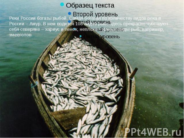 Реки России богаты рыбой. Самая богатая по количеству видов река в России – Амур. В нем водится 108 видов рыб. Здесь прекрасно чувствуют себя северяне – хариус и ленок, неплохо – южные виды рыб, например, змееголов.