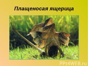Плащеносая ящерица