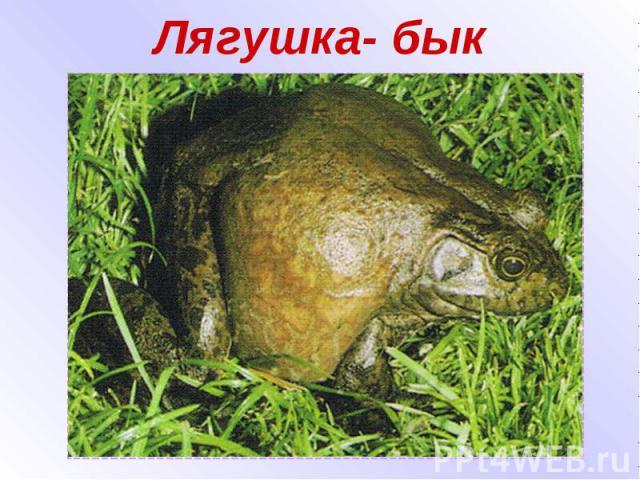 Лягушка- бык